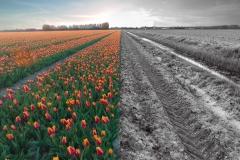 wel-of-geen-tulpen